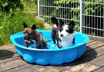 Hunde im Pool